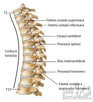 Articulatiile coloanei vertebrale si toracelui - miscarile coloanei vertebrale : Coloana vertebrala