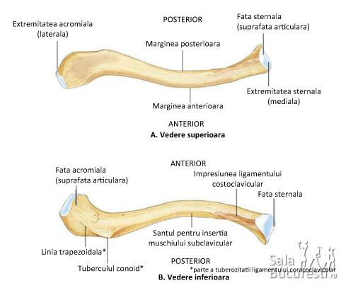 Centura membrului superior - clavicula, oasele centurii, scapula : Membrul superior