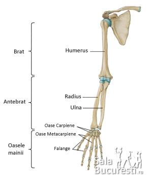 numeste tipul de articulare a oaselor membrului superior mers cu gel cremă pentru durerile articulare